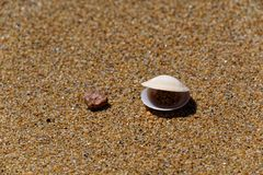 Bivalve de fala na praia imagens de stock royalty free