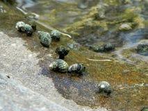 Bivalve del fiume Immagini Stock Libere da Diritti