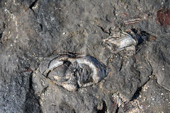 Bivalve mulluscs and brachiopod shell fossils Stock Photography