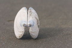Bivalve shell on black sand. Detail of bivalve shell on black sand Royalty Free Stock Images