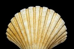 Bivalve shell isolated on black background Stock Images