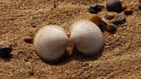 Bivalve skorupy na Piaskowatej plaży fotografia royalty free