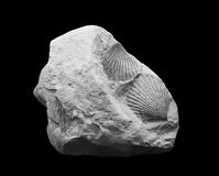 Bivalves fossils Royalty Free Stock Photography