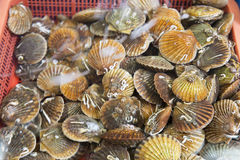 Bivalvia for sale at fish market, South Korea. Bivalvia is a class of marine and freshwater molluscs with laterally compressed bodies enclosed by a shell in two Royalty Free Stock Photos