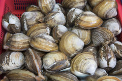Bivalvia for sale at fish market, South Korea. Bivalvia is a class of marine and freshwater molluscs with laterally compressed bodies enclosed by a shell in two Stock Photography