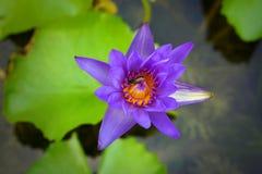 Bivana med naural purpurfärgad lotusblomma Royaltyfri Fotografi