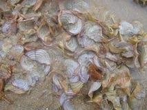Bivavle shells Royalty Free Stock Photography