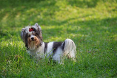 Biver yorkshire terrier dog in grass field Stock Image