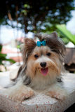 Biver yorkshire terrier dog in home Stock Photo
