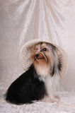 Biver yorkshire terrier in a hat Stock Images