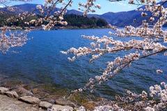 Biwa Lake and cherry Stock Images