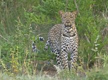 Biyamiti Leopard Stockfotos