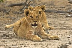 Biyamiti Lion Cubs Stock Images