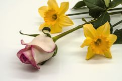 White background with a lying bud of a white rose with a pink border and two yellow daffodils royalty free stock photography