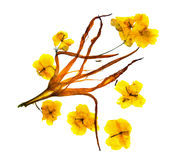 Bizarre curved extruded dried lily petals. Flower yellow celandi. Ne pressed Royalty Free Stock Photo