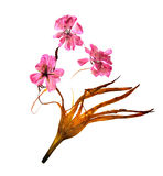 Bizarre curved extruded dried lily petals. pressed delicate flow. Er geranium pink Stock Photography