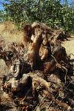 Bizarre gestalte gegeven wortel stock foto's