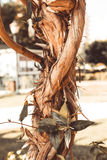 Bizarre interlacing of the branches of the southern tree. Select. Ive focus. Shallow depth of field. Toned royalty free stock photography