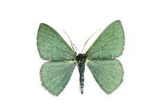 Bizarre Looper Moth, Urolitha bipunctifera. Australian Geometridae, isolated on white, wingspan 25mm Royalty Free Stock Photos