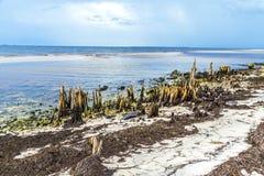 Bizarre old rotten trees at. The coast Stock Photo