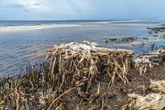 Bizarre old rotten trees at. The coast Stock Photos