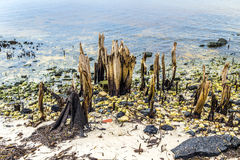 Bizarre old rotten trees at the coast. With ocean in background Royalty Free Stock Photos