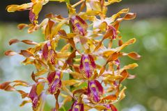 The orchid breed. stock image