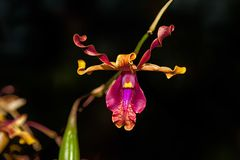 BIZARRE ORCHID. Rare species orchid which has coiled or horn-type petals Stock Photography