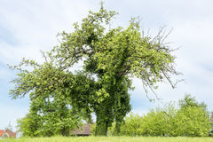 Bizarre tree. Bizarre apple tree covered with ivy stock photos