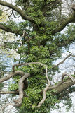 Bizarre tree covered with ivy Royalty Free Stock Photography