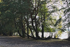 Bizarre tree grows in the forest, which is located by the lake.  Stock Photography