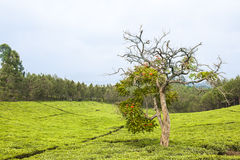 Bizarrely sharped tree in tee plantation Stock Image