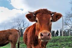 bizkaia母牛西班牙 库存图片
