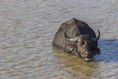 Bizon żuć cud podczas gdy zanurzający w wodzie fotografia royalty free