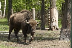 bizon ρωσικό zubr Στοκ φωτογραφία με δικαίωμα ελεύθερης χρήσης