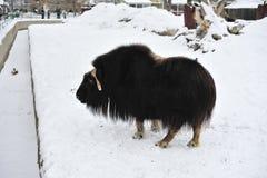 bizon Στοκ εικόνες με δικαίωμα ελεύθερης χρήσης