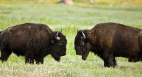 bizon Fotografia Royalty Free