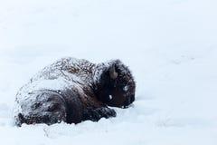 bizon Stock Fotografie