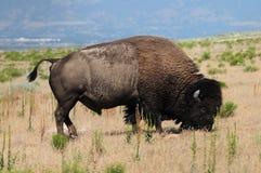 bizon Zdjęcia Royalty Free