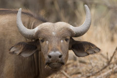 bizon Obraz Stock