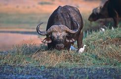 bizon Fotografia Stock