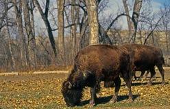 bizon zdjęcie stock