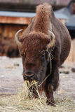 bizon Zdjęcie Royalty Free