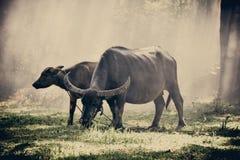 bizon Obraz Royalty Free