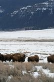 bizon amerykański Fotografia Royalty Free