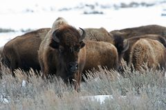 bizon amerykański Zdjęcie Stock