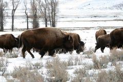 bizon amerykański Zdjęcia Royalty Free