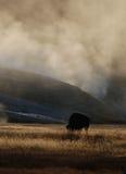 bizon amerykański fotografia stock