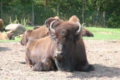 bizon amerykański Zdjęcia Stock