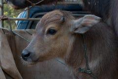 Bizon, Bawoli Tajlandia, zwierzęta, zakończenia up oko Obraz Royalty Free